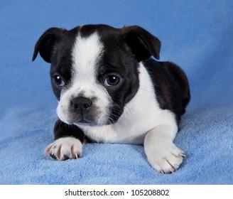 A portrait of a 7 week old female Boston terrier puppy.