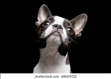 Portrait of an adarable Boston terrier - studio shot, isolated on black.