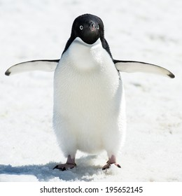 Portrait of an Adelie penguin (Pygoscelis adeliae) on on the snow