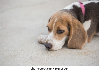 A Portrait of an Adorable Beagle Dog