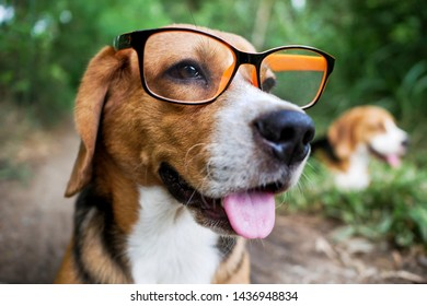 Portrait an adorable beagle dog wearing the eyeglass  like a nerd, sitting on the green grass outdoor in the backyard.