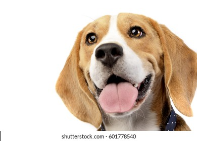 Portrait of an adorable Beagle - studio shot, isolated on white.