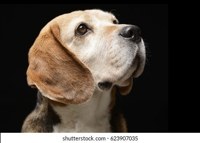 Portrait of an adorable Beagle - studio shot, isolated on black.