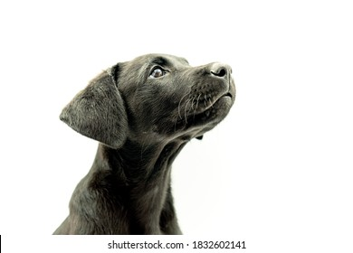Portrait of Adorable Black Haired Mallorcan Shepherd Dog Model Puppy in White Background Looking Up