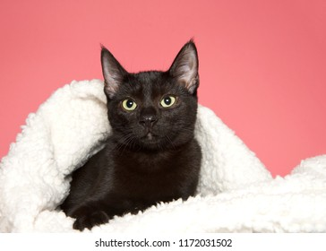 Portrait of an adorable black kitten with yellow green eyes laying inside a sheepskin blanket wrapped around it looking at viewer slightly to the left, pink background with copy space.
