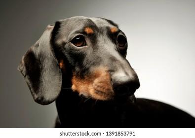 0f0657290e9 Imágenes, fotos de stock y vectores sobre Grey Dog Isolated ...