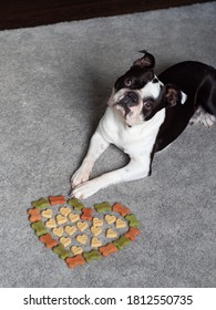 Portrait of adorable black white colored Boston terrier dog laying down on the carpet, Doggo with a grumpy sad bored face looking at the camera, Heart made of dog food, Small puppy with fed up look