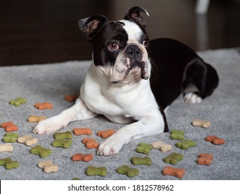Portrait of adorable black white colored Boston terrier dog laying down, Doggo with a grumpy sad bored face looking at food, Small puppy with fed up look surrounded by dog treat bones