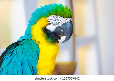 Portrait adorable blue-throated macaw (Ara glaucogularis; previously Ara caninde), also known as the Caninde macaw or Wagler's macaw.
