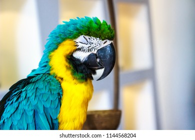 Portrait adorable blue-throated macaw sleep(Ara glaucogularis; previously Ara caninde), also known as the Caninde macaw or Wagler's macaw.