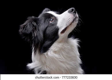 Portrait of an adorable Border Collie - isolated on black background.