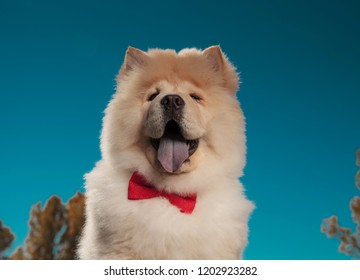 portrait of an adorable chow chow puppy dog wearing bowtie and looking at the camera, outdoor picture