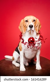 Portrait of an adorable cute beagle in christmas setting.