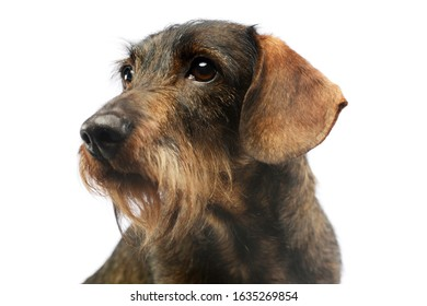 Portrait of an adorable Dachshund looking curiously