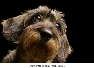 Portrait of an adorable Dachshund, studio shot, isolated on black.