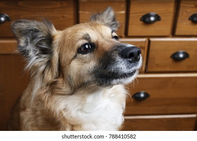 Portrait of adorable dog, wooden furniture n the background.