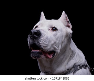 Portrait of an adorable Dogo Argentino looking up curiously - studio shot, isolated on white background.