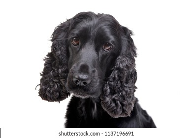 Portrait of an adorable English Cocker Spaniel - isolated on white background.