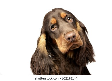 Portrait of an adorable English Cocker Spaniel - studio shot, isolated on white.