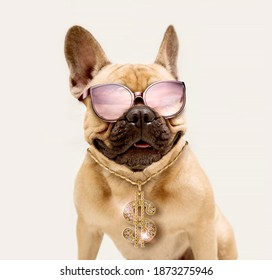 Portrait of Adorable Fawn French Bulldog Wearing Sunglasses and Shiny Gold Dollar Necklace. - Shutterstock ID 1873275946