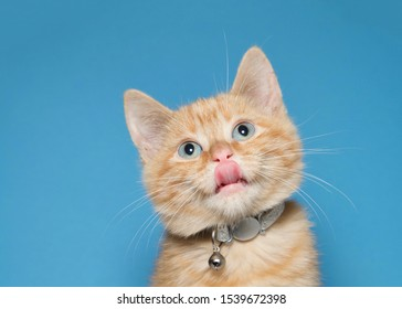 Portrait of an adorable fluffy orange ginger tabby kitten wearing a shiny collar with bell. Looking up with tongue sticking out. Blue background with copy space.