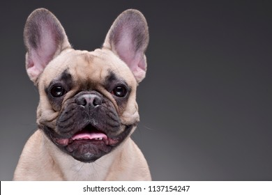 Portrait of an adorable French bulldog - isolated on grey background.