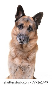 Portrait of an adorable german shepherd dog - isolated on white background.