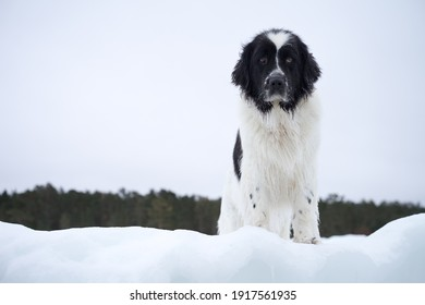Portrait of an adorable giant Landseer in winter background. Water rescue dog in cold February day.