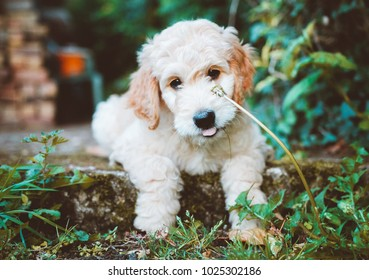 Portrait of adorable Goldendoodle puppy lying down with his tongue sticking out