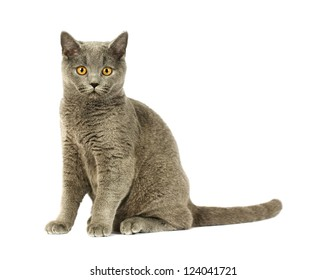 Portrait of adorable gray British Shorthair cat on a white background.