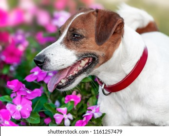 Portrait of adorable happy smiling small white and brown dog jack russel terrier standing in flower bed and looking at left side at summer sunny day. Dog has bright red collar on its neck