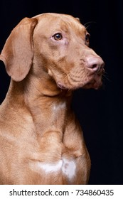 Portrait of an adorable Hungarian Vizsla - isolated on black background.