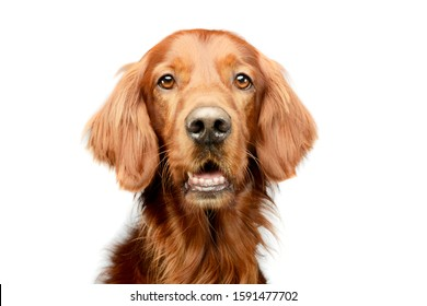 Portrait of an adorable irish setter looking curiously at the camera