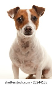 Portrait of an Adorable Jack Russell Terrier Isolated on a White Background.