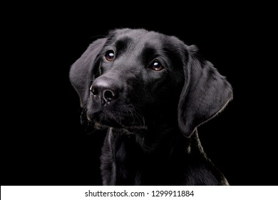 Portrait of an adorable Labrador retriever - isolated on black background.