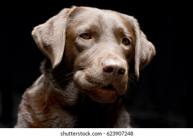 Portrait of an adorable Labrador retriever - studio shot, isolated on black.