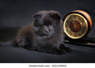 Simple Pomeranian Anime Adorable Dog - portrait-adorable-longhaired-black-color-260nw-1011154963  Perfect Image Reference_381069  .jpg