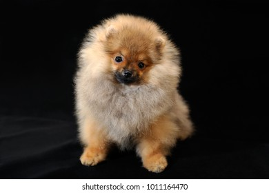 Top Pomeranian Anime Adorable Dog - portrait-adorable-longhaired-red-color-260nw-1011164470  Collection_746532  .jpg
