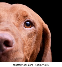 Portrait of an adorable magyar vizsla looking curiously at the camera - isolated on black background.