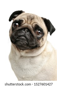 Portrait of an adorable Pug (or Mops) looking curiously at the camera - studio shot, isolated on white background.