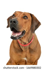 Portrait of an adorable rhodesian ridgeback looking up with hanging tongue