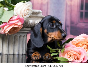 Portrait of an adorable short haired Dachshund, black and tan, studio shot