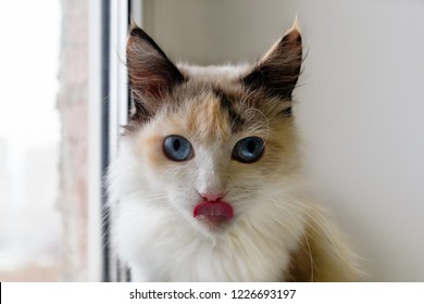 Portrait of adorable tortoiseshell fluffy cat with blue eyes and stuck out tongue.