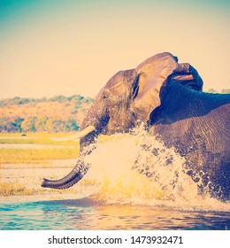 Portrait of an adult African Elephant wading through water in the Chobe National Park, Botswana, Africa with retro style filter effect