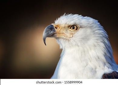 Portrait of adult African fish eagle, Haliaeetus vocifer, isolated on blurred background. Side view. Eagle eye. Close up african raptor, eagle from Mana Pools, Zimbabwe, Africa.
