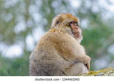Portrait of an adult Barbary macaque made in dutch semi-free park