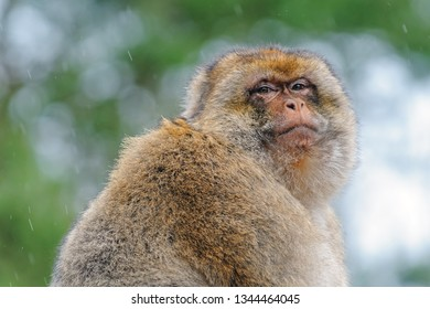 Portrait of an adult Barbary macaque made in semi-free park