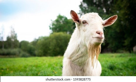 Portrait of an adult beautiful white male goat on a farm green grass field background on a summer day. Close up, copy space