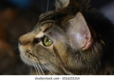 Portrait of an adult cat Maine Coon