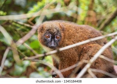 Portrait of an adult female red-bellied lemur in vegetation